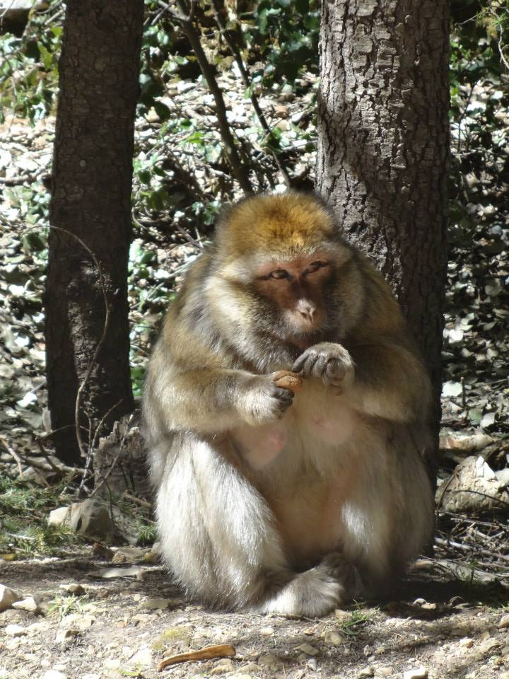Barbary Ape in the Cedar Forest, Ifrane National Park, Morocco