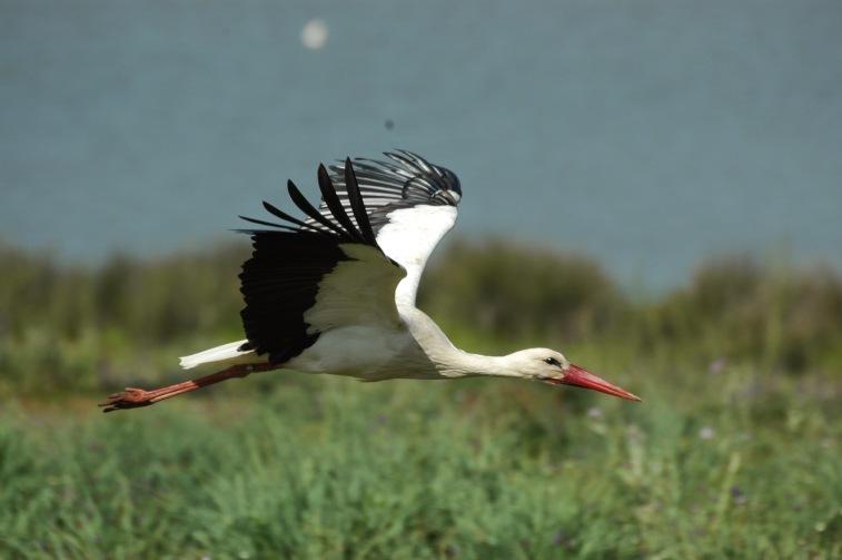 White Stork at the Dehesa de Abajo, Doñana National Park, Spain
